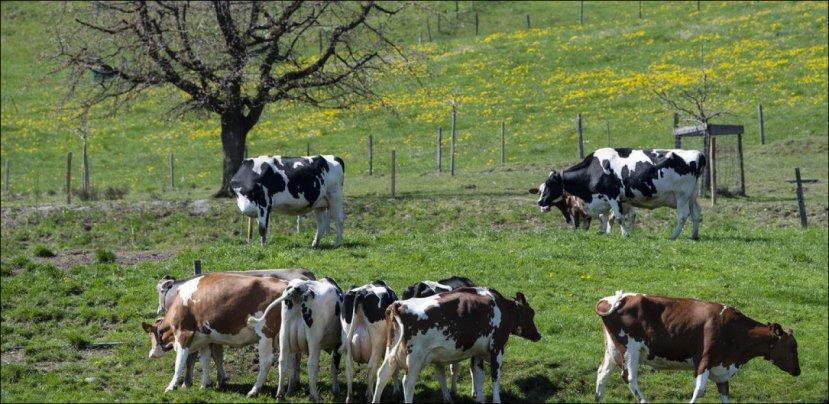 cows Switzrerland image- 20min.ch